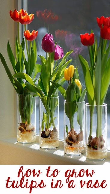 how-to-grow-tulips-in-a-vase
