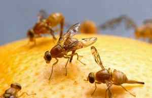 do-fruit-flies-bite