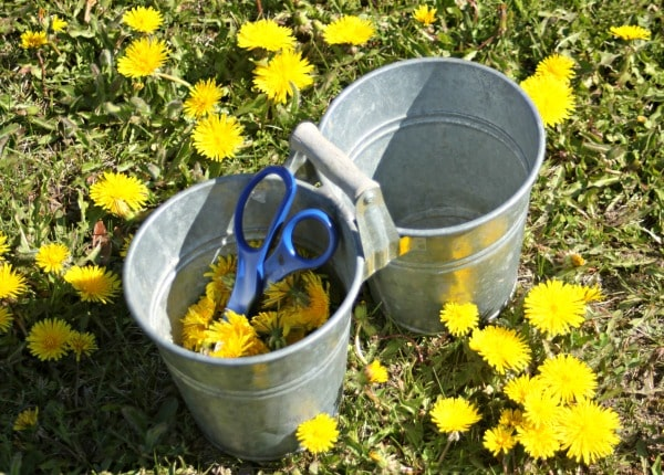 Making-and-Using-Dandelion-Oil-harvest