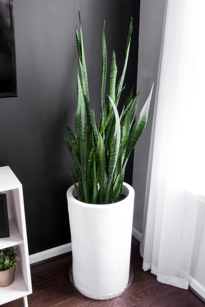 how-to-take-care-of-snake-plant-1